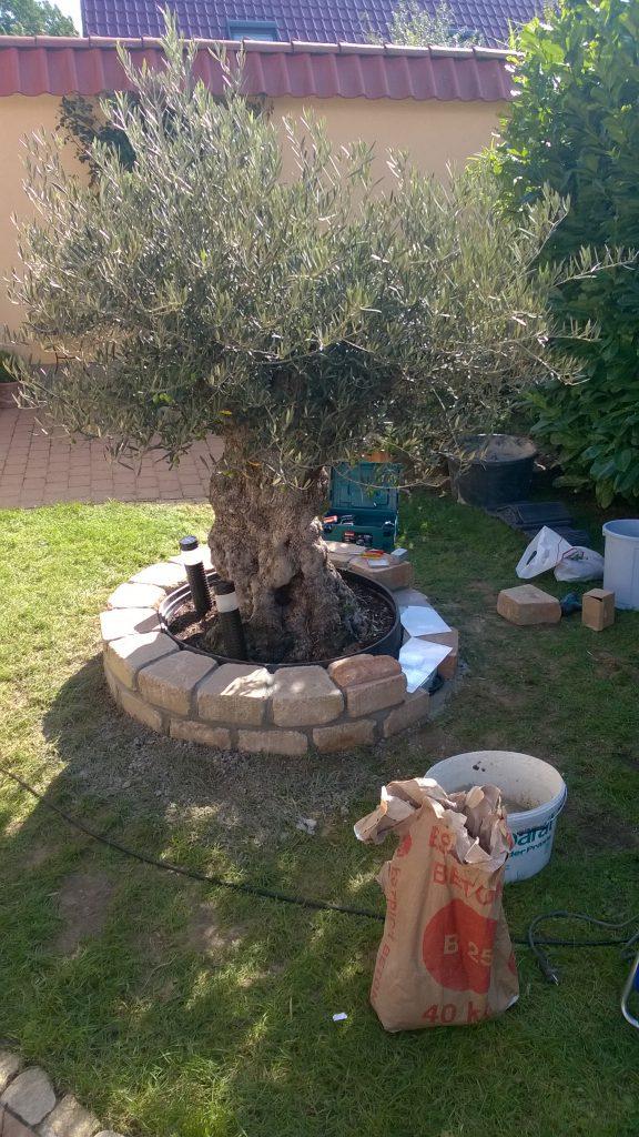 Intigrierter Wärmeschutz für Pflanzen, hier bei einen Olivenbaum