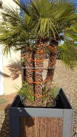 Pflanzenheizung für Palmen, Olivenbäume und mediterrane Pflanzen